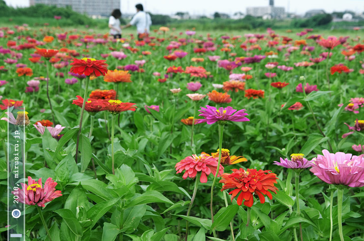 ジニア(高性) 平塚市・馬入・光と風の花づつみ 2018/07/26