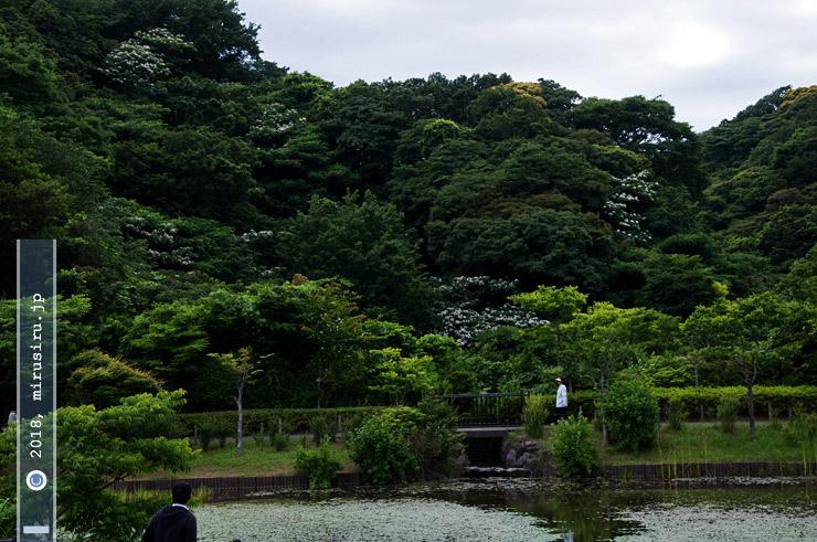 アブラギリ(白花) 横須賀市・光の丘水辺公園 2016/06/06
