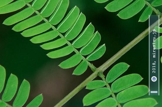 ネムノキの実生の葉の葉脈(白色線) 横浜市栄区・横浜自然観察の森 2018/08/02