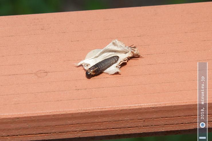 ハギに付いていたオオミノガの幼い幼虫(ミノムシ)、開封して中身の生存を確認 茅ヶ崎市萩園 2018/08/04