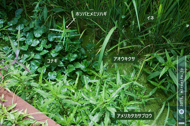 ホソバヒメミソハギなどの水田雑草 茅ヶ崎市西久保 2018/08/16