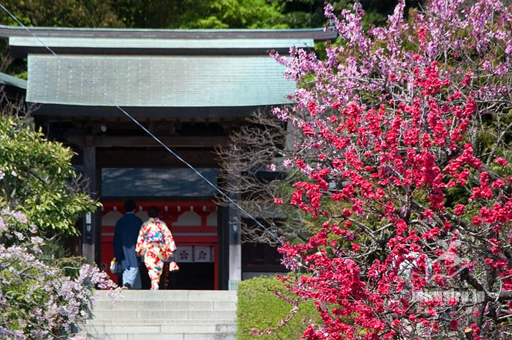 ハナモモ(向かって右側民家、左はシダレザクラ) 鎌倉市・荏柄天神社 2017/04/14