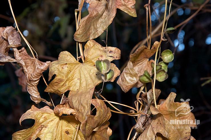 カエデドコロの葉は枯れてもまだ緑色を維持している実 横浜市栄区・横浜自然観察の森 2017/12/21