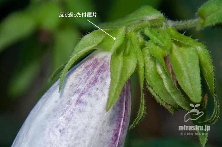 ホタルブクロの特徴 横浜市戸塚区・舞岡公園 2018/06/25