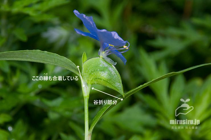 シュッコンツユクサの苞 二宮町・梅沢海岸 2018/09/18