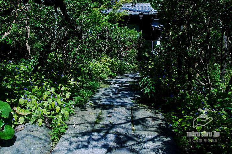 スズムシバナ 鎌倉市・光則寺 2018/09/28
