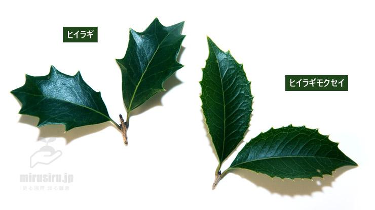 ヒイラギとヒイラギモクセイの葉の比較