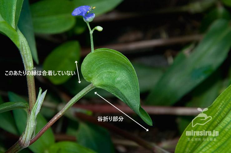 シマツユクサの苞 寒川町田端 2018/09/17