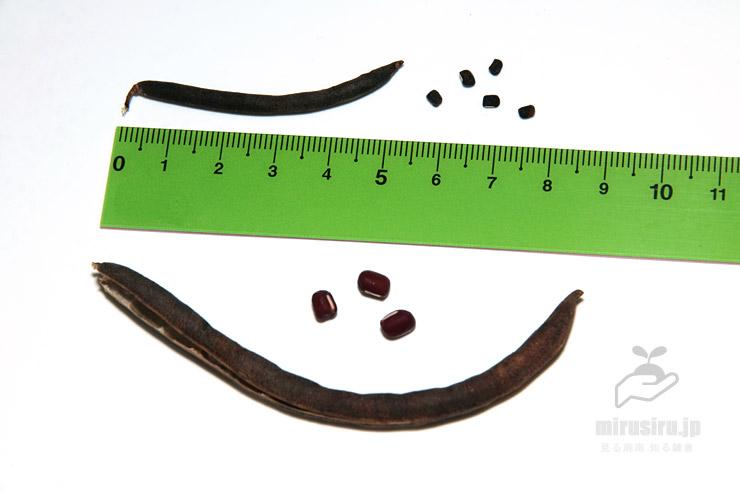 ヤブツルアズキ(上)と栽培品種アズキ(下)の実と種子の比較