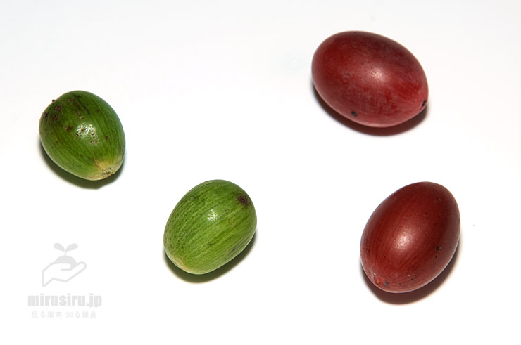 カヤの熟した実(緑色)とイヌガヤの熟した実(赤茶色)の比較