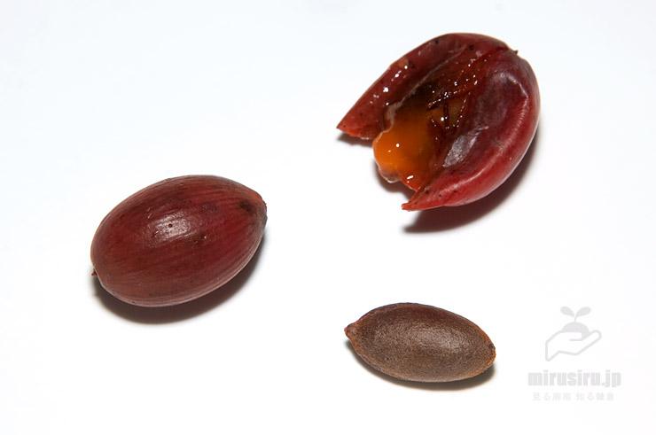 イヌガヤの熟した実(左)、指でつぶした実(右上)、種子(右下)