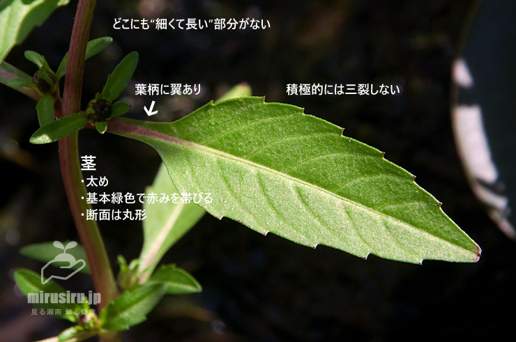 タウコギの葉 藤沢市大庭 2018/10/16
