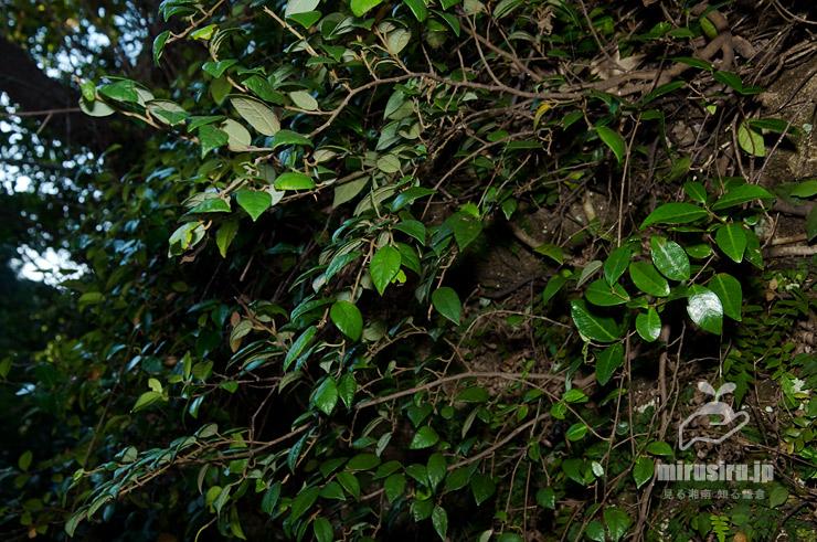 ヒメイタビの成木の、岩から立ち上がった様子 逗子市・神武寺 2018/10/25