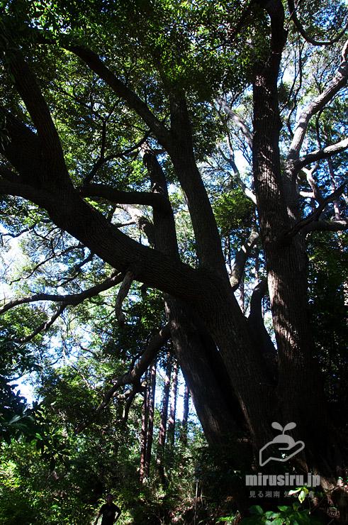 スダジイの巨木 逗子市沼間・鷹取山ハイキングコース 2018/10/30