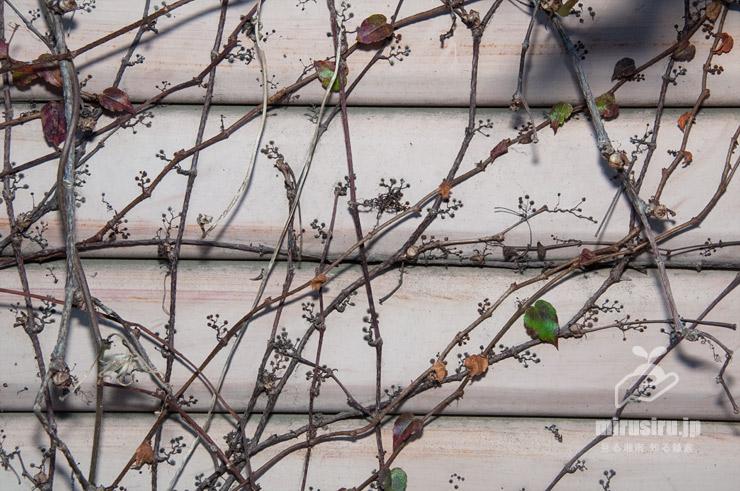 葉が落ちると目立つようになるツタの吸盤 茅ヶ崎市萩園 2018/10/31