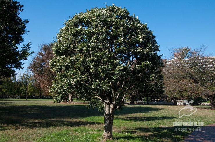 サザンカ(原種)、樹形は剪定による 東京都江東区・亀戸中央公園 2018/11/03