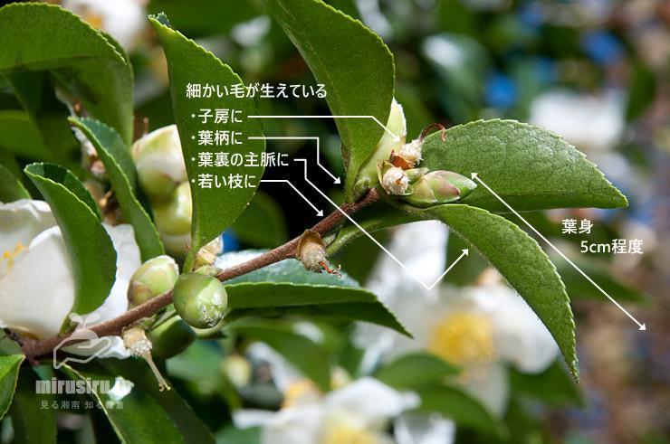 サザンカ(原種)の特徴 東京都江東区・亀戸中央公園 2018/11/03