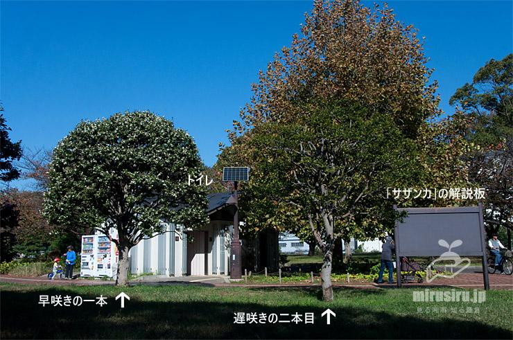 サザンカ(原種) 東京都江東区・亀戸中央公園 2018/11/03