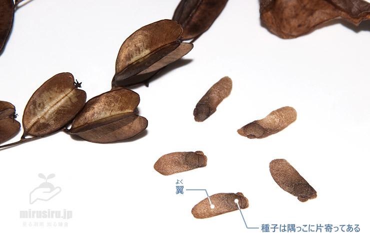 オニドコロの熟した実と種子 横浜市栄区上郷町 2018/11/16