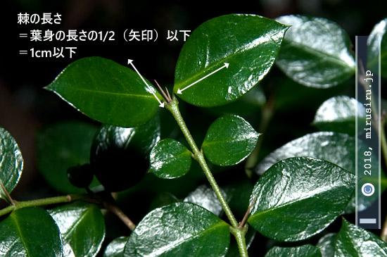 オオアリドオシの棘の長さ 平塚市・高麗山公園 2016/12/26