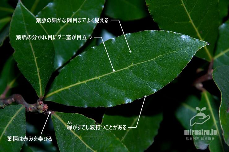 ゲッケイジュの葉 藤沢市・遠藤公園 2018/11/24