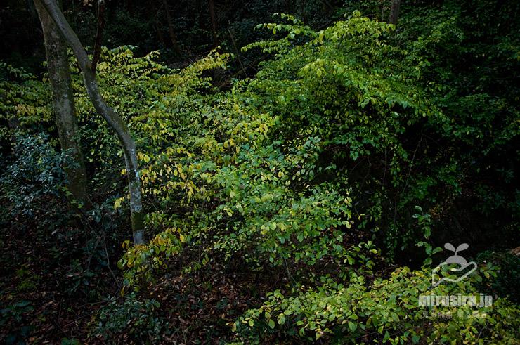 コクサギの黄葉 小田原市早川・太閤一夜城と長興山史跡巡りコース 2018/12/01