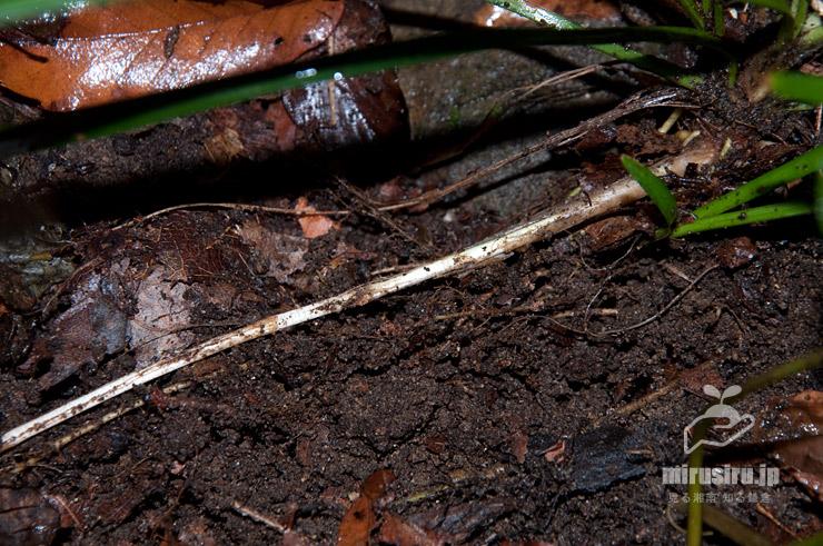 オオバジャノヒゲの、落ち葉に埋もれた場所で長く伸びる地下茎 横浜市磯子区・氷取沢市民の森 2018/12/23