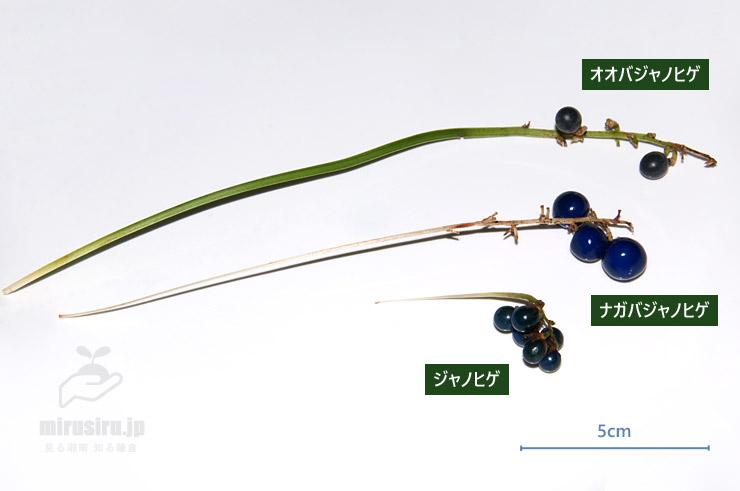 オオバジャノヒゲ、ナガバジャノヒゲ、ジャノヒゲの果柄の比較