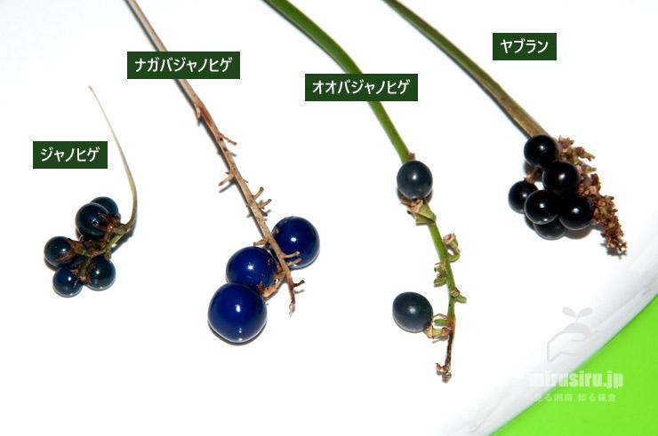 ジャノヒゲ、ナガバジャノヒゲ、オオバジャノヒゲ、ヤブランの実の比較