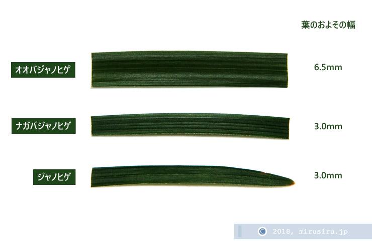 ジャノヒゲ、ナガバジャノヒゲ、オオバジャノヒゲの葉の幅の比較