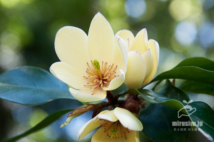 カラタネオガタマ 横浜市金沢区・金沢自然公園 2017/05/05