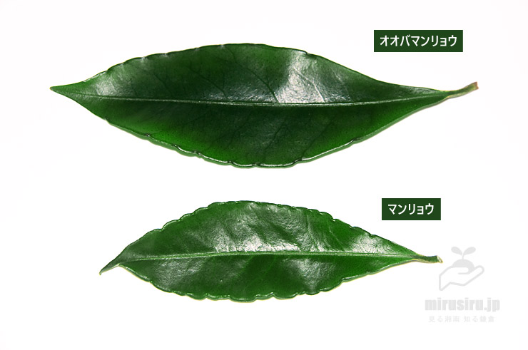 オオバマンリョウとマンリョウの葉の比較