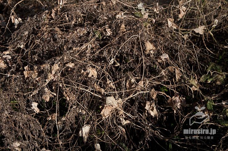 真冬になって枯れたガガイモの株、残っていた実もじきに干からびて裂開する 茅ヶ崎市西久保 2019/01/10
