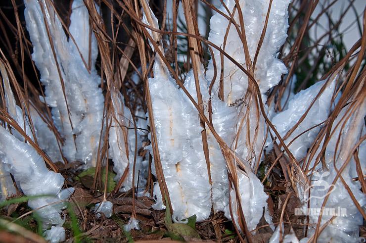 シモバシラが作り出した中規模な氷柱 茅ケ崎里山公園 2019/01/11