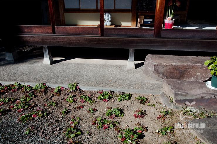 庭に植えられたイチゴ 鎌倉市・貞宗寺 2019/01/11