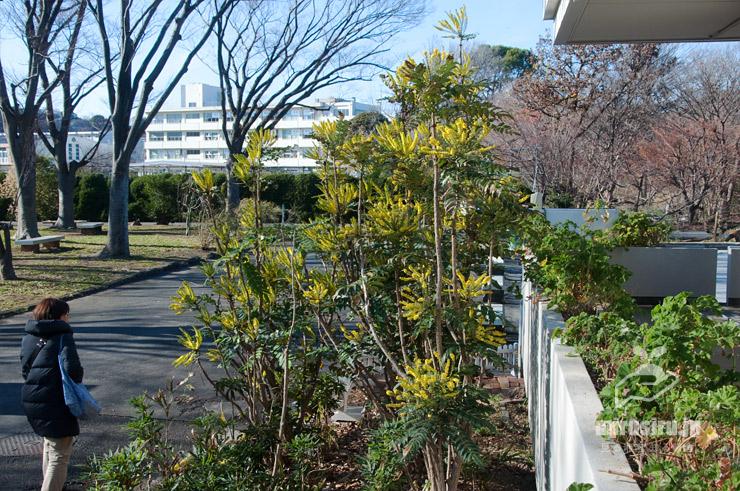 背高に伸長するマホニア 鎌倉市・大船フラワーセンター 2019/01/11