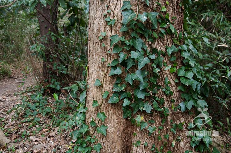 地面を這ったり樹木を登るキヅタ 逗子市・長柄桜山古墳群 2019/01/24