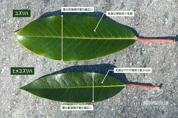 #ユズリハと#ヒメユズリハの葉の特徴の違い
