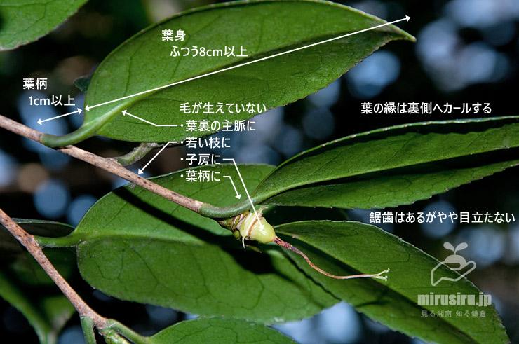 ヤブツバキの枝葉の特徴