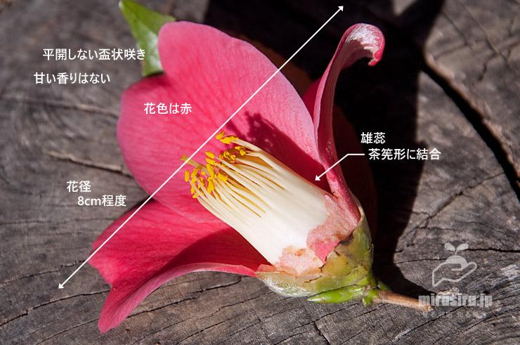 ヤブツバキの花の特徴