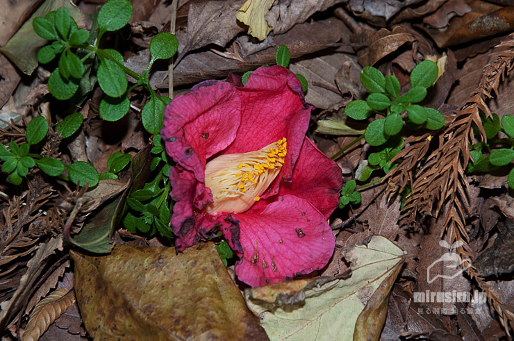 ヤブツバキの落花の特徴、花丸ごと雄蕊付きでぽとりと落ちる