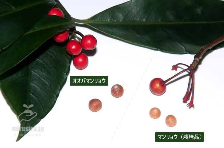 オオバマンリョウとマンリョウの、実と種子の比較
