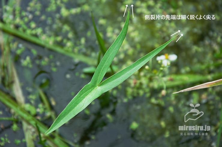 オモダカの葉の特徴 大井町金手・田んぼ 2016/09/06