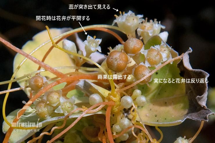 アメリカネナシカズラの特徴 藤沢市辻堂西海岸 2018/07/19
