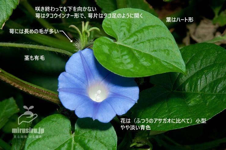 マルバアメリカアサガオの特徴 茅ヶ崎市西久保 2018/10/15