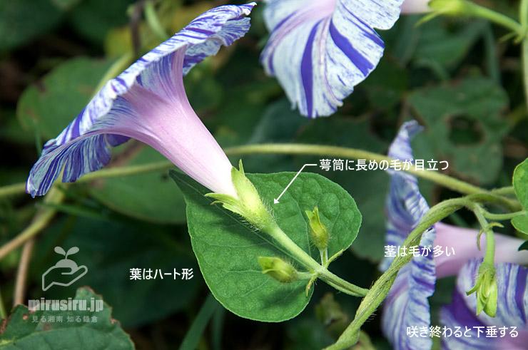 マルバアサガオの特徴 茅ヶ崎市萩園 2018/10/15