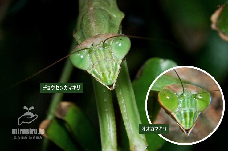 チョウセンカマキリとオオカマキリの顔の比較