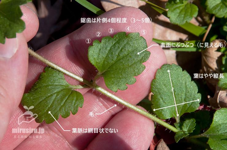 オオイヌノフグリの葉と茎の特徴 鎌倉市・大船フラワーセンター 2019/01/29