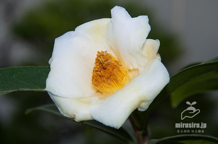 ツバキ('初黄'、展示会出品の鉢植え) 鎌倉市・大船フラワーセンター 2019/01/29