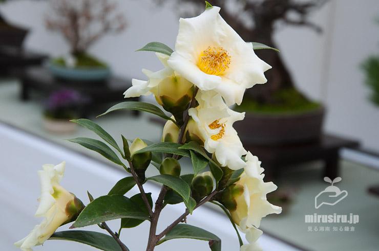 ツバキ('黄の御前'、展示会出品の鉢植え) 鎌倉市・大船フラワーセンター 2019/02/07
